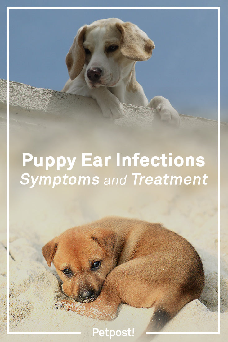 Puppy Ear Infections