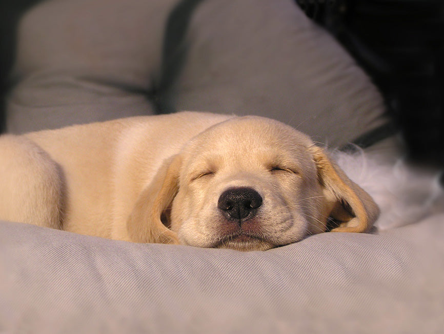 Puppy laying down with eyes closed on couch