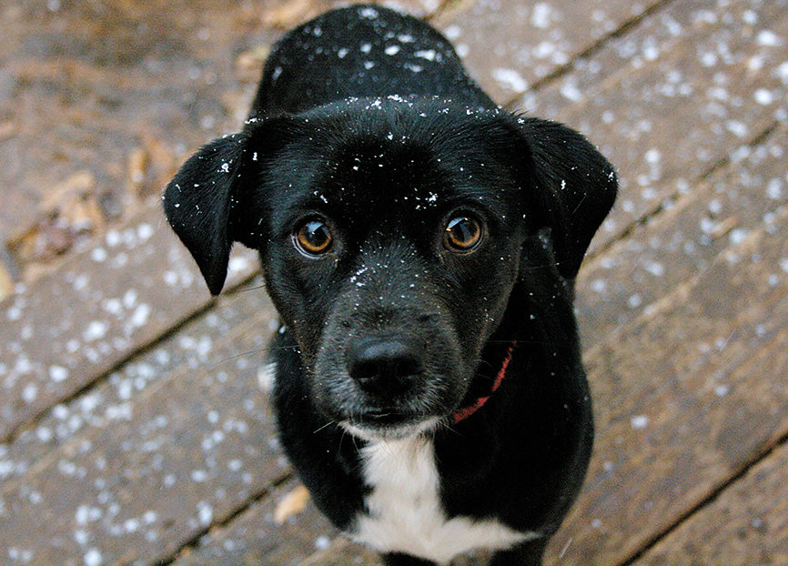 Black Dog Outside in Flurries