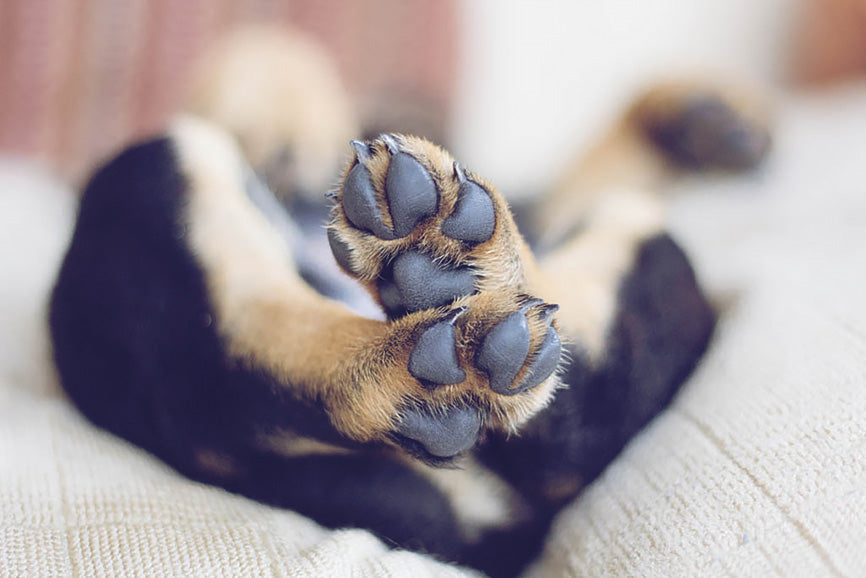 Soft Dog Paws after a Treatment of Coconut Oil