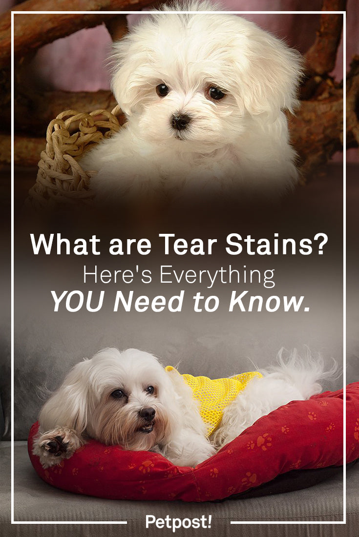 Tear Stains in White Dogs