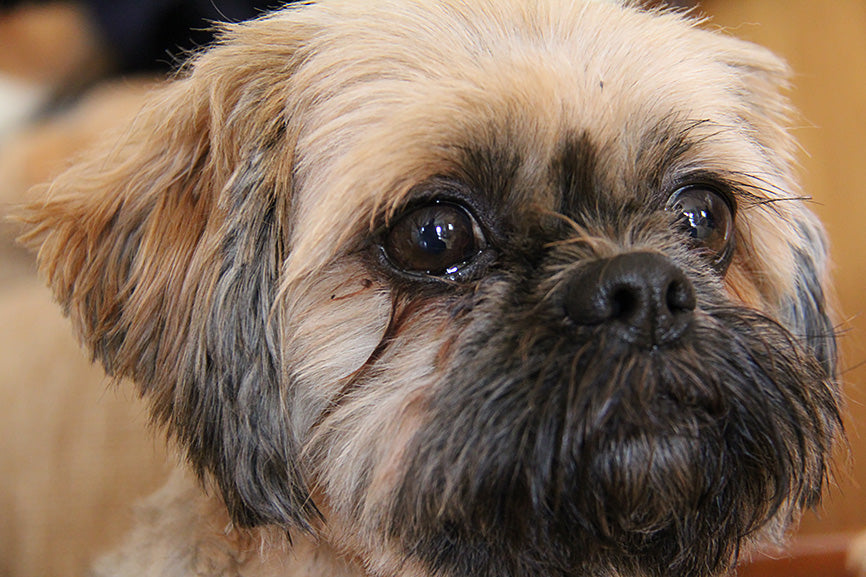 A Close Up of a Shih Tzu Crying