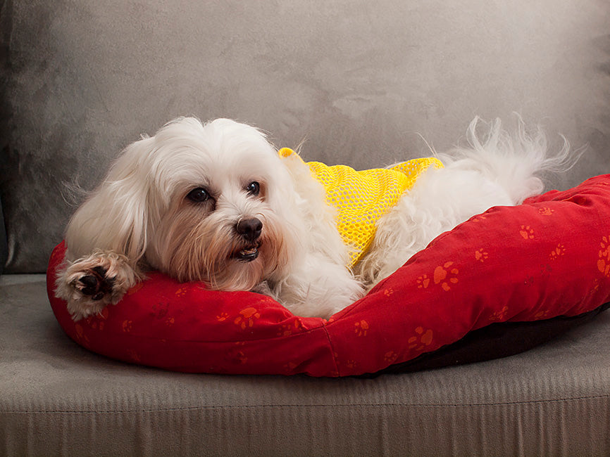 White Maltese with Tear Stains Laying on a Red Dog Bed