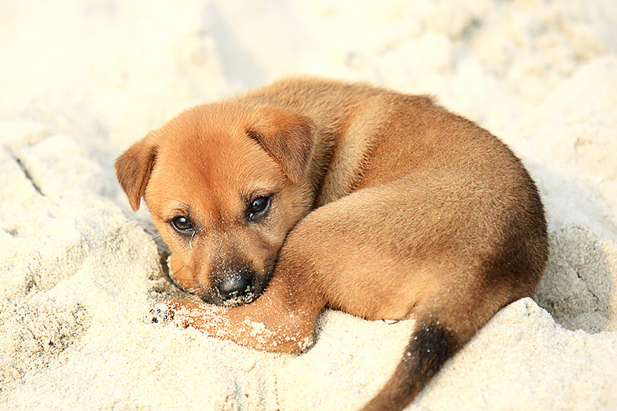 Puppy with ear infection laying down on a sandy beach