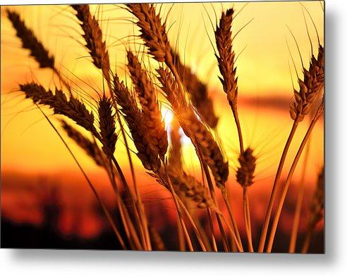 Ears Of Wheat In The Field. Evening Light - Metal Print