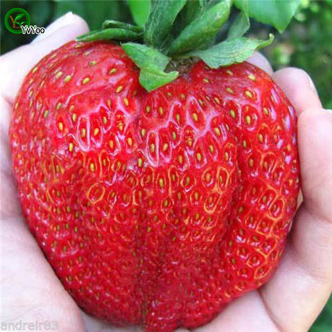 Giant Strawberry Fruit Seeds 300 pcs
