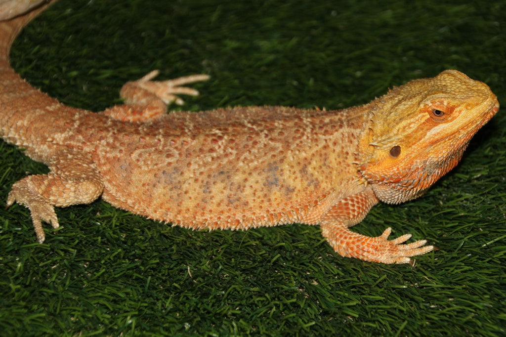 Six Things To Do When Introducing Dogs to Bearded Dragons