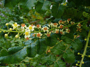 Frankincense Essential Oil -Boswellia Serrata  Out of Stock - aromaxioma
