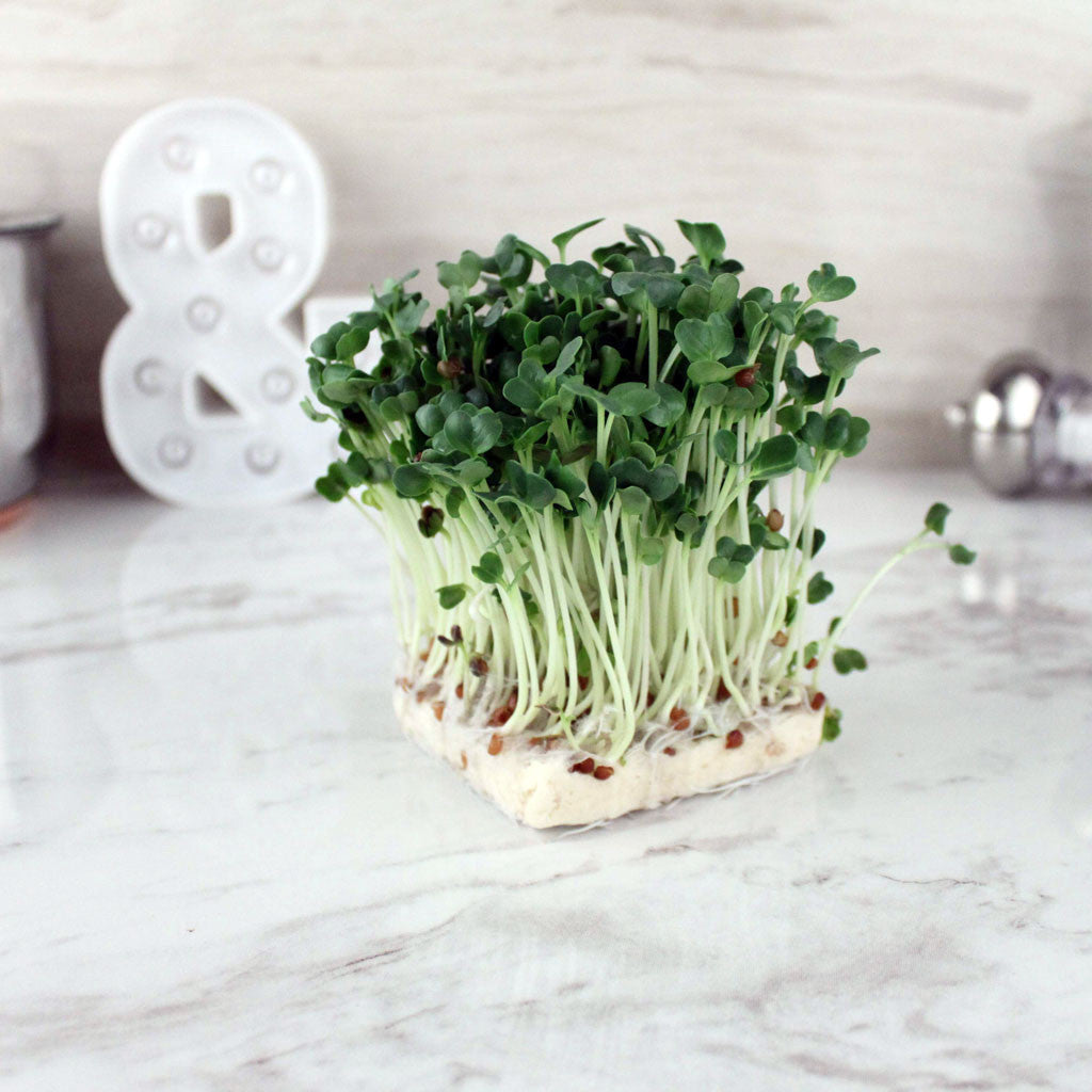 Organic Living Radish Sprouts - Milk and Eggs - 1