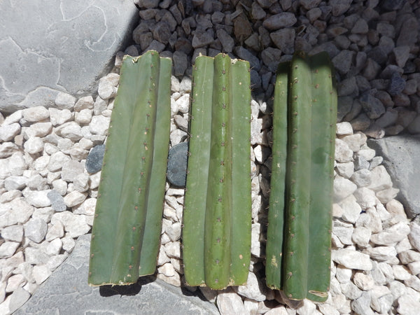 Trichocereus pachanoi, San Pedro cactus cuttings - 3 mid sections