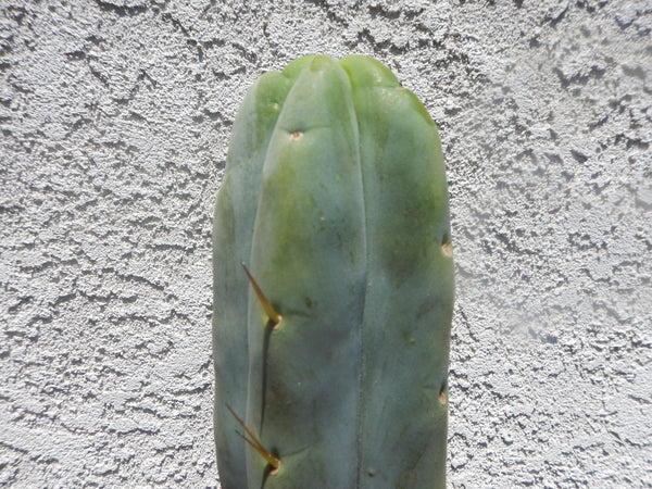 "Bridgesii, Trichocereus bridgesii var. ""Lee"" (10-12 in Tip cutting) ***SALE***"