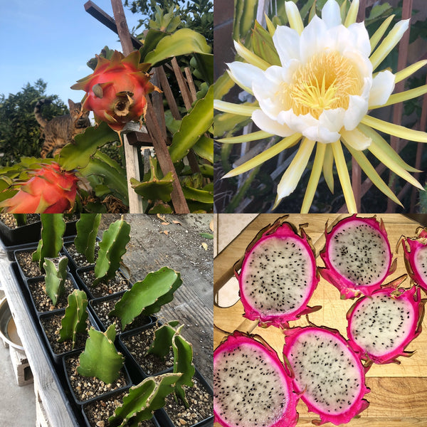 "Hylocereus undatus ""Dragon Fruit, White Flesh"" - [ROOTED CUTTING, 4"" POT] - Self fertile variety!"