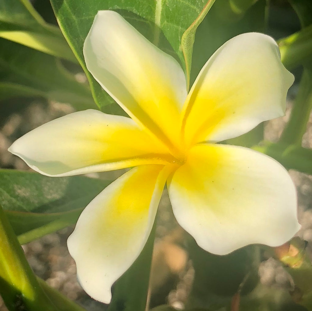 "Plumeria Cutting - Yellow Flower - (10-12"" Cutting)"