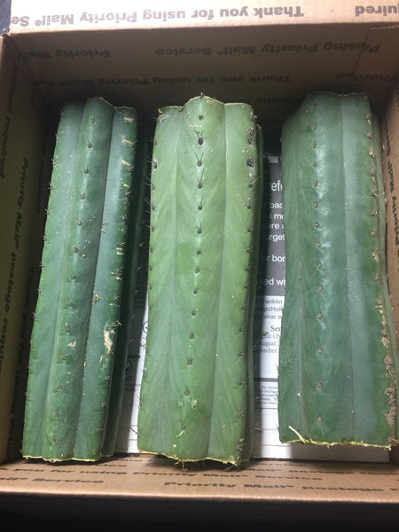 Trichocereus pachanoi, San Pedro mid cuttings in box