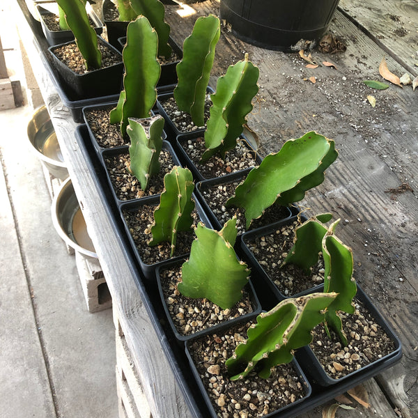 "Hylocereus undatus ""Dragon Fruit, White Flesh"" - [ROOTED CUTTING, 3.5"" POT] - Self fertile variety!"