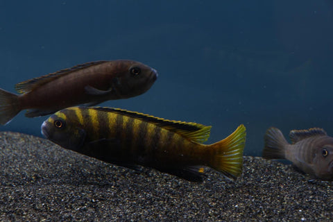 "Pseudotropheus flavus ""yellow dingani"" - Imperial Tropicals"