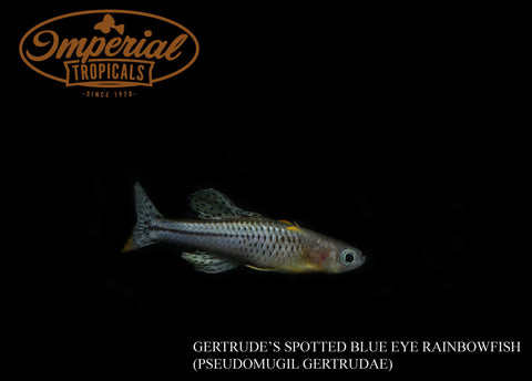 Spotted Blue Eye Rainbowfish - Gertrudae Aru II (Pseudomugil gertrudae) - Imperial Tropicals