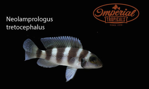 (Neolamprologus tretocephalus) - Imperial Tropicals