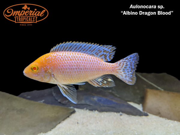 Albino Dragon Blood Peacock Cichlid (Aulonocara sp.)