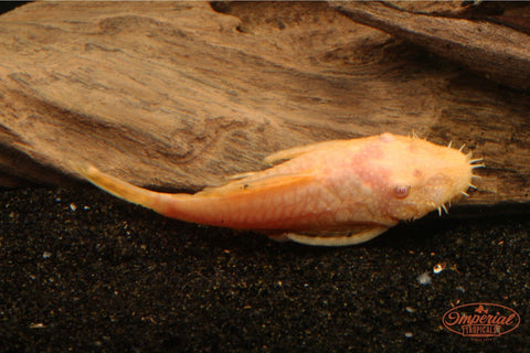 Albino Bushy Nose Plecostomus - Imperial Tropicals