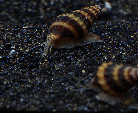 Assassin Snails (Clea helena) - JUST $9.99 SHIPPING w/ $45 PURCHASE! - Imperial Tropicals