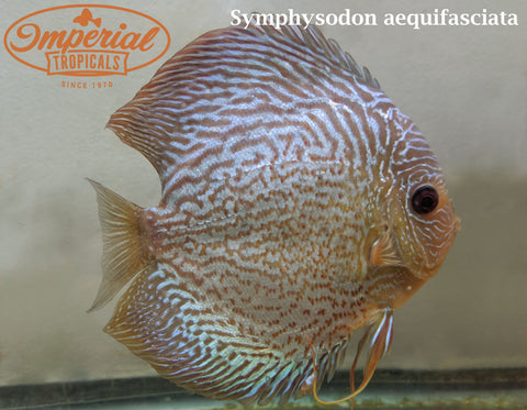 Assorted Discus (Symphysodon aequifasciata) - Pick-Up Only