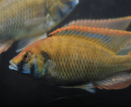 Eastern Happy Cichlid (Astatotilapia calliptera) - Imperial Tropicals