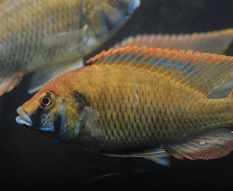 "Astatotilapia Calliptera ""Eastern Happy"" - Imperial Tropicals"