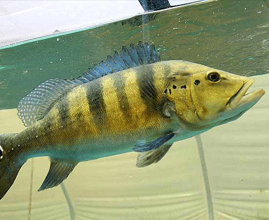 Azul Peacock Bass (Cichla piquiti) - Imperial Tropicals