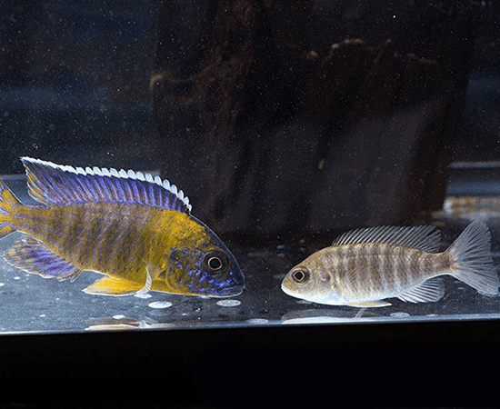 Blue Neon Peacock (Aulonocara sp.) - Imperial Tropicals