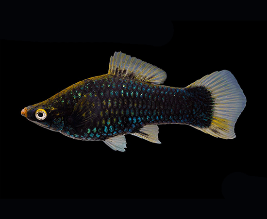 Black Swordtail (Xiphophorus hellerii) - Imperial Tropicals