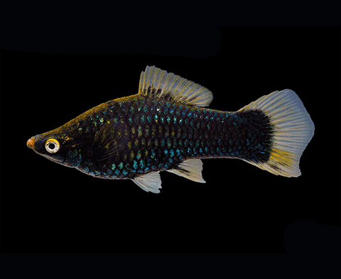 Black Moscow Swordtail - Imperial Tropicals