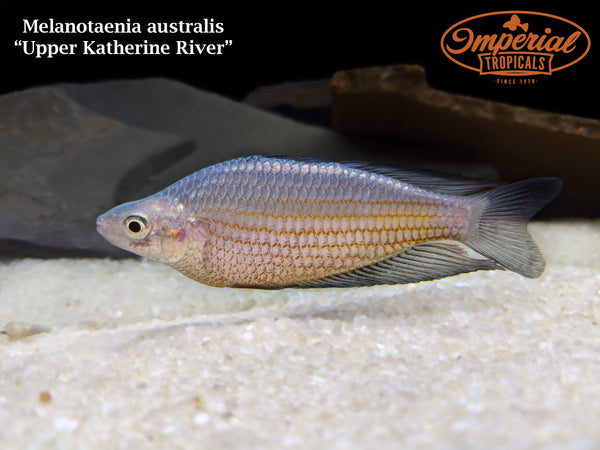Black Fin Rainbowfish - Upper Katherine River (Melanotaenia splendida)