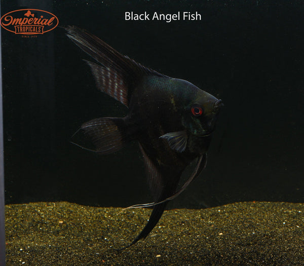 Black Angel Fish (Pterophyllum scalare) - Imperial Tropicals
