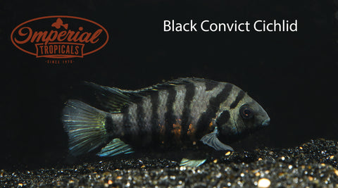 Black Convict Cichlid (Amatitlania nigrofasciata) - Imperial Tropicals