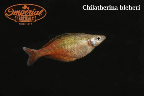 Bleher's Rainbowfish (Chilatherina bleheri)
