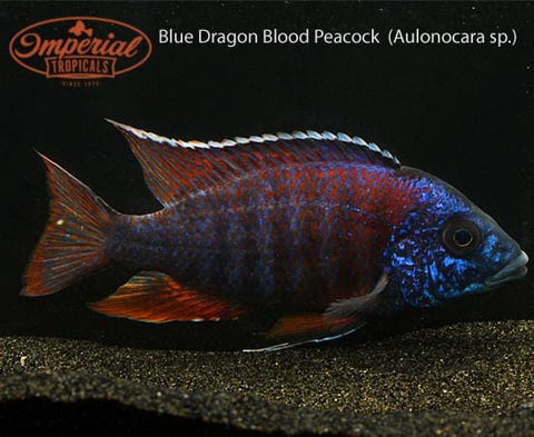 Blue Dragon Blood Peacock  (Aulonocara sp.) - Imperial Tropicals