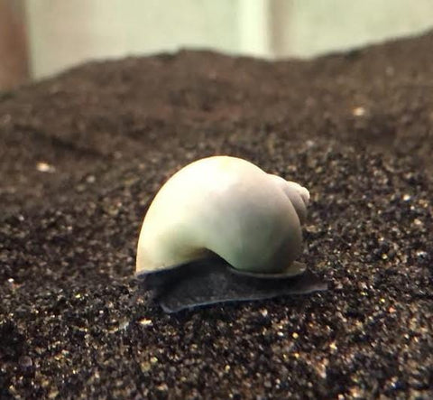 Blue Mystery Snail (Pomacea sp.) - Imperial Tropicals