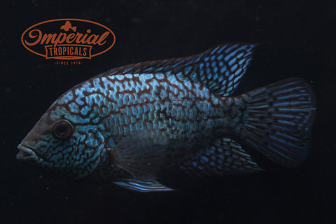 Electric Blue Texas Cichlid (Herichthys carpintis) - Imperial Tropicals