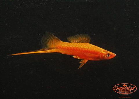 Brick Swordtail - Imperial Tropicals