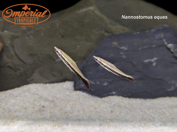 Brown Tail Pencilfish (Nannostomus eques)