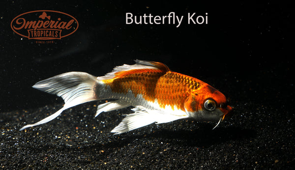 Butterfly Koi (Cyprinus rubrofuscus) - Imperial Tropicals