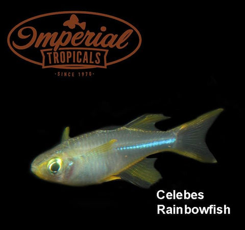 Celebes Rainbowfish (Marosatherina ladigesi) - Imperial Tropicals