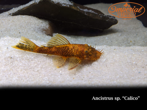 Calico Bushynose (Ancistrus sp.)