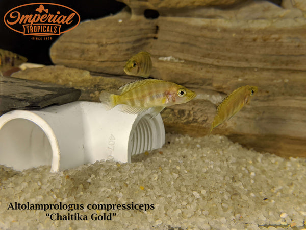 Chaitika Gold Compressiceps (Altolamprologus compressiceps)