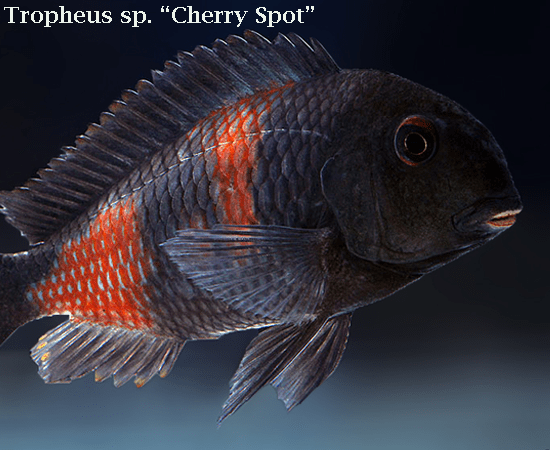 "Cherry Spot ""Bulu Point"" (Tropheus sp.)"