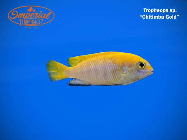 Chitimba Gold (Tropheops sp.)