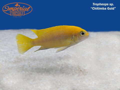 (Tropheops sp. Chitimba Gold)