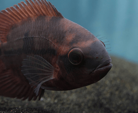 Chocolate Cichlid (Hypselecara temporalis) - Imperial Tropicals