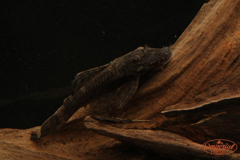 Chocolate Bushynose / Bristlenose Pleco (Ancistrus sp.) - Imperial Tropicals